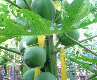 망고‧파파야 등 국내 아열대작목 재배 증가