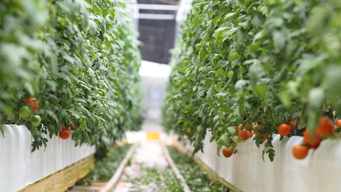 고온 극복 사계절하우스  토마토 첫 시장출하
